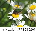生態写真、コアオハナムグリ 77326296