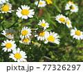 生態写真、コアオハナムグリ 77326297