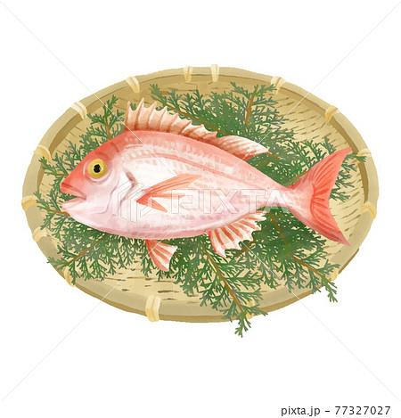 水彩タッチ 竹ザルにのった鯛 ヒバの葉付き 77327027