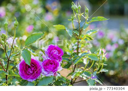 馬見丘陵公園 満開のバラ 77340304
