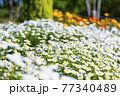 馬見丘陵公園 満開の春の花々 77340489