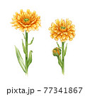 Calendula flower set. Watercolor illustration. Yelow medical natural herb set. Calendula officinalis plant on white background. Natural healthy blossoms with orange petals and green leaves 77341867