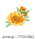 Calendula flower arrangement. Watercolor illustration. Orange medical natural herb. Calendula officinalis plant on white background. Natural healthy blossom with yellow petals and green leaves 77341881