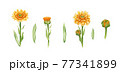 Calendula flower set. Watercolor illustration. Yelow medical natural herb set. Calendula officinalis blossom and bud on white background. Natural healthy flowers with orange petals and green leaves 77341899