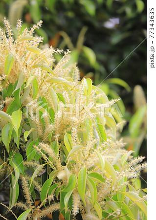 満開のマテバシイの花 77343635