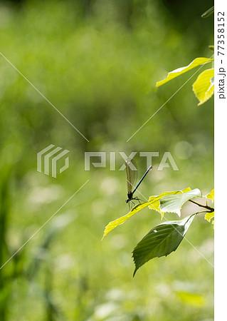 新緑の葉とイトトンボ 77358152