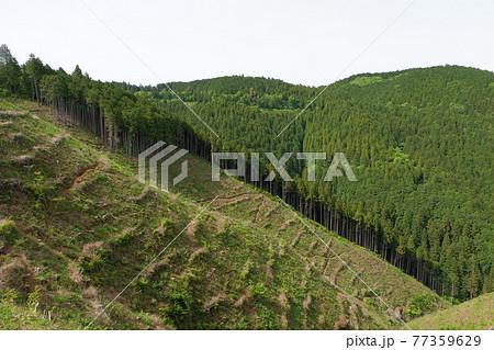 杉の伐採。高尾山(たかおさん)は、東京都八王子市にある標高599mの山。修験道の霊山 77359629