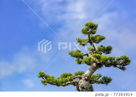 松 盆栽 77363914