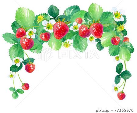 イチゴのアーチ型装飾フレーム。水彩イラスト。正方形タイプ。 77365970