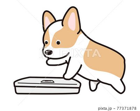体重を測ろうとする犬 コーギー 77371878