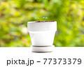 植物 芽 植木鉢 77373379