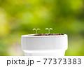 植物 芽 植木鉢 77373383