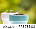 植物 芽 植木鉢 77373388