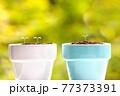植物 芽 植木鉢 77373391