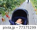 いちご狩りを体験しているベビーカーに乗った赤ちゃん 77375299