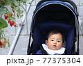 いちご狩りを体験しているベビーカーに乗った赤ちゃん 77375304