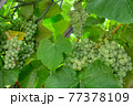 Fascicle of green grape growing among the leaves 77378109
