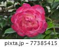 ピンクのバラの花 77385415