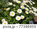 春の花:ノースポール 77386950