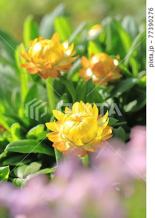 太陽のように明るい麦藁菊(ムギワラギク) 77390276