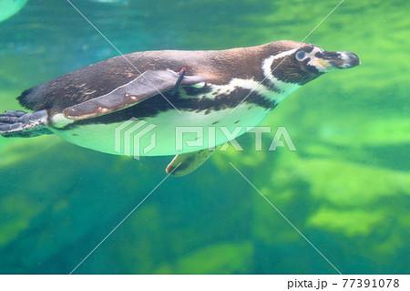 水中を泳ぐ1羽のフンボルトペンギン 77391078