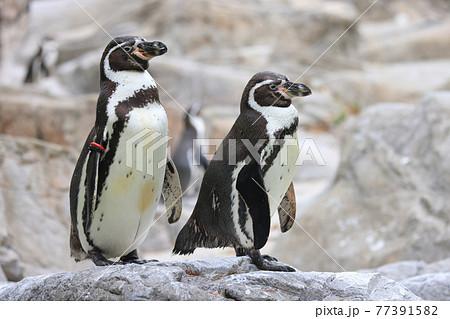 岩の上に立つ2羽のフンボルトペンギン 77391582