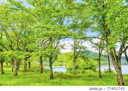 新緑のイメージカット 神奈川県宮ケ瀬ダム湖 77401742