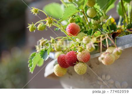 熟れ始めのイチゴの実(鉢植え栽培) 77402059