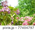 神奈川県立七沢森林公園 シャクナゲ かながわの花の名所100選 77404797