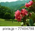 神奈川県立七沢森林公園 シャクナゲ かながわの花の名所100選 77404798