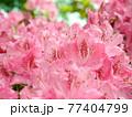 神奈川県立七沢森林公園 シャクナゲ かながわの花の名所100選 77404799