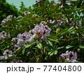 神奈川県立七沢森林公園 シャクナゲ かながわの花の名所100選 77404800