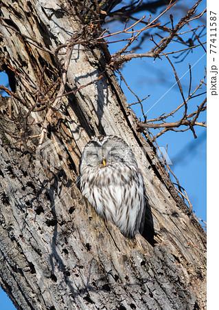 古木で羽を休めるエゾフクロウ 77411587