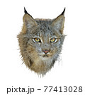 Digital painting of canada lynx on white background 77413028