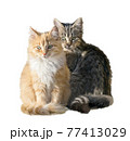 Fluffy red and brown cats isolated on white background. Digital illustration. 77413029