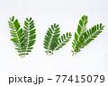 Sesbania Grandiflora leaves on white. 77415079