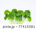 Fresh leaves of gotu kola on white 77415081