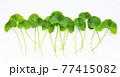 Fresh leaves of gotu kola on white background. 77415082