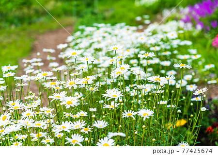 春の花壇 フランス菊 77425674