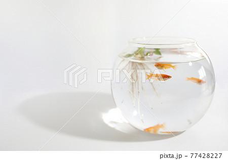ガラス鉢の中の赤いメダカ 77428227