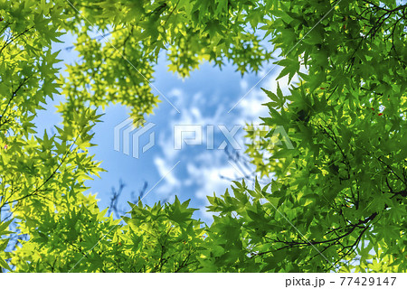 新緑のフレーム 神奈川県宮ケ瀬ダム湖 77429147