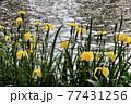 菖蒲の花 77431256