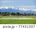 雪の白馬山脈と田植え頃の農村 77431307