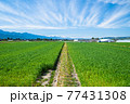 春の鮮やかな麦畑 77431308