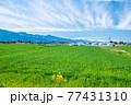 春の鮮やかな麦畑 77431310