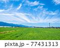 春の鮮やかな麦畑 77431313