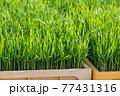 稲の苗 コシヒカリ 77431316