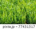 稲の苗 コシヒカリ 77431317