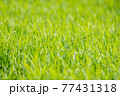稲の苗 コシヒカリ 77431318
