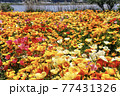 ポピーの花畑 77431326